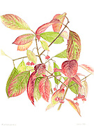 E. atropurpureas by Julia Brine, botanical illustrator and co-owner of Garden Large, Naturalistic Garden Design.