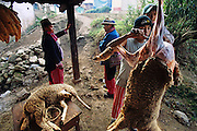 Throughout the town, many people have their own turkeys and sheep, which they slaughter for special family reunions during festival days such as All Saints Day. Hungry Planet: What the World Eats (p. 161). This image is featured alongside the Mendoza family of Todos Santos Cuchumatán, Guatemala, images in Hungry Planet: What the World Eats.