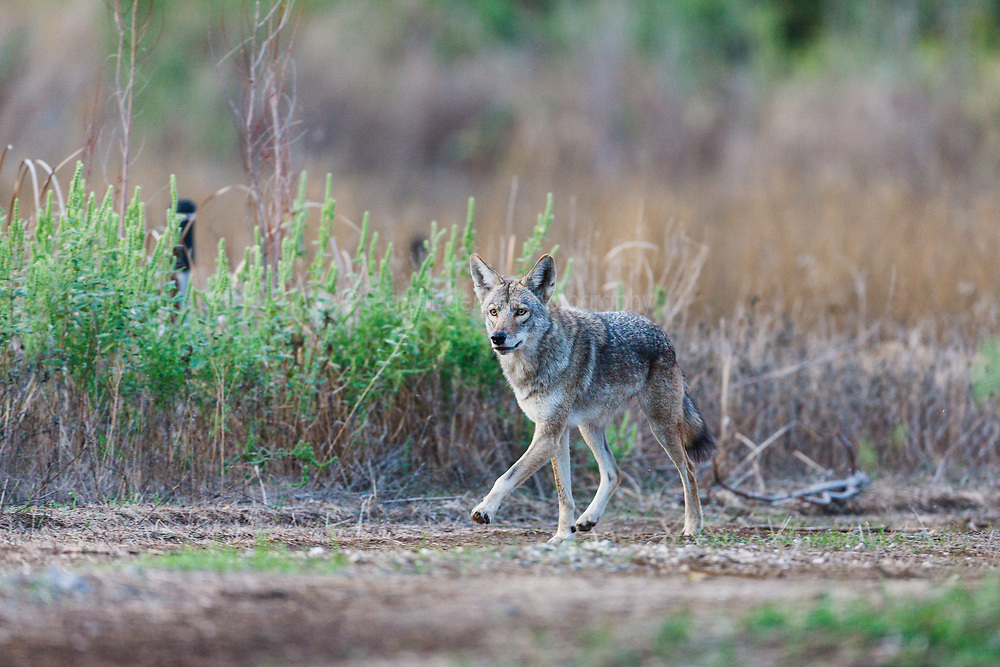 Coyote, Trinity River Audubon Center, Dallas, Texas, USA.