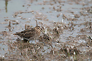 Photograph of a Wilson's Snipe at Whitewater Draw Wildlife Area AZ