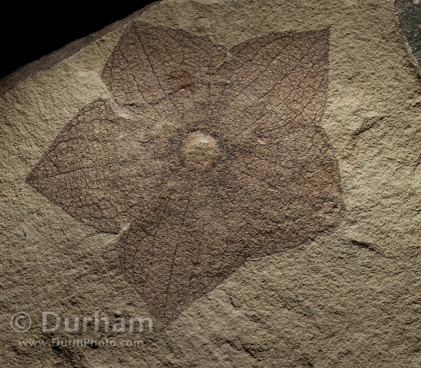 Fossil flower (florissantia speirii) from the chocolate family. 44 million years old. John Day Fossil Beds, West Branch Creek, Oregon.