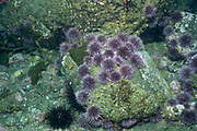 """Overpopulation of Purple Sea Urchins eat the Giant Kelp creating deserts in the ocean called """"Urchin barrens""""  (Strongylocentrotus purpuratus).Anacapa Island, California (Channel Islands National Park)"""