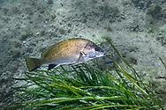 Brown meagre or corb (Sciaena umbra) of mediterranean sea.