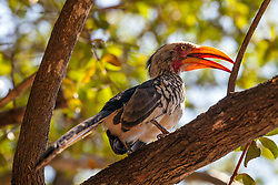 Southern Yellow Billed Hornbill in South Africa's Kruger National Park
