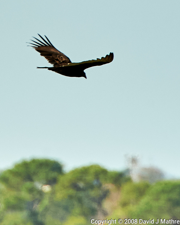 Turkey Vulture (Cathartes aura). Weedon Island Preserve. Pinellas County, Florida. Image taken with a Nikon D700 camera and 200-400 mm f/4 VR lens.