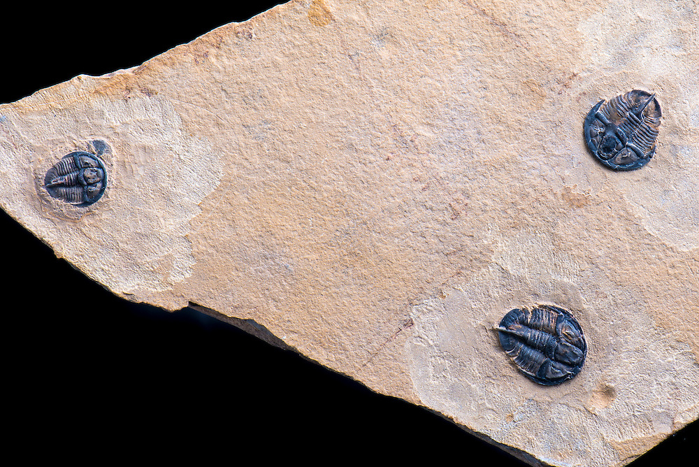 This is a nice multiple Genevievella granulatus, a rare Middle Cambrian ptychopariid trilobite collected from the Weeks Formation in the House Range, Millard County, Utah