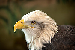 Columbia, an adult female bald eagle, came to the National Eagle Center in 2003 as a juvenile. She hatched in the spring of 2001.<br /> <br /> After feeding on road kill near Dunbar, WI, Columbia was struck by a van. This accident left her with an open fracture near her right shoulder. While this wound was significant and would render her unable to fly again, the accident most likely saved Columbia's life. During treatment for her injuries, Columbia was found to have nearly twice the lethal dose of lead in her blood.<br /> <br /> Lead is extremely dangerous for eagles. Just a tiny amount of lead can be lethal in 4-5 days. She was able to be treated for lead poisoning, but any damage already incurred would be irreversible.<br /> <br /> Columbia arrived at the National Eagle Center just a few months before the Space Shuttle Columbia mission that ended in tragedy. Columbia was named in honor of the commander and crew of this shuttle.