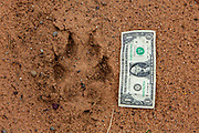 Enormous wolf track on a sand road in NW Wisconsin.