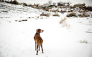SHOT 12/27/15 12:29:47 PM - Tanner, an 11 year-old male Vizsla, watches as family sled down a hill in an arroyo in Albuquerque, N.M. The Vizsla is a dog breed originating in Hungary and are sporting dogs and loyal companions. The Vizsla is a natural hunter endowed with an excellent nose and an outstanding trainability. Although they are lively, gentle mannered, demonstrably affectionate and sensitive, they are also fearless and possessed of a well-developed protective instinct. (Photo by Marc Piscotty / © 2015)