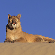 Mountain Lion or Cougar (Felis concolor) adult in sand dunes in the Little Sahara area of Utah. Captive Animal
