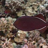 Black Triggerfish, <br /> Melichthys niger, Bloch, 1786