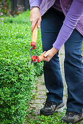 Clipping low box hedging with hand shears