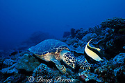 hawksbill sea turtle, Eretmochelys imbricata, feeding on coral rubble with moorish idol, Zanclus cornutus, waiting for scraps, Layang Layang Atoll, Malaysia  ( South China Sea )