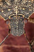 Detail of a brochymena stink bug (Brochymena affinis). NW Oregon
