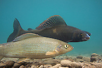 Grayling (Thymallus thymallus) <br /> Male (dark) and female spawning, Lake of Thoune, Thoune, Switzerland<br /> Äsche (Thymallus thymallus)<br /> Männchen (dunkel) und Weibchen laichend, Thunersee, Thun, Schweiz<br /> Ombre (Thymallus thymallus)<br /> Mâle (foncé) et femelle sur la frayère, Lac de Thoune, Thoune, Suisse<br /> 23-03-2009