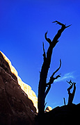 Image of a bristlecone pine at Arches National Park, Utah, American Southwest by Randy Wells