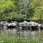 Heron and Sea Gulls at St James park and a lovely weather on 23 April 2019, London, UK.