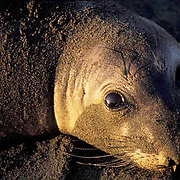 Northern Elephant Seal, (Mirounga angustirostris)  Portrait of young seal. Early morning. California.