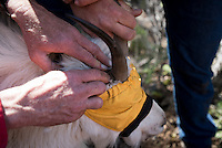 Wyoming Game & Fish biologists take look at a sedated mountain goat's horns to estimate her age during capture operations last week near Alpine.