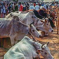 Cattle await an uncertain fate at the weekly Mirpur animal market near Dhaka, Bangladesh.