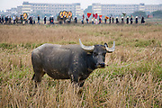 A water buffalo is tethered in a field in the foreground as the funeral procession passes from the village to the cemetery for Trieu Thi Chat, who died at the age of 95 in Van Phuc Village, near Hanoi, Vietnam.