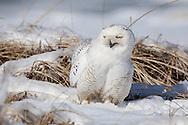 A snowy owl on a snowy dune at West Dennis Beach.