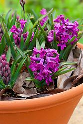 Hyacinthus 'Woodstock' in a terracotta pot