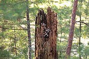 Raccoons in a tree stump