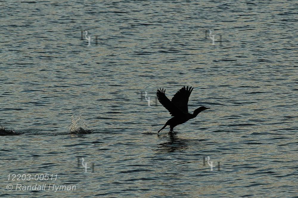 Cormorant takes flight in Thunder Bay on Lake Huron; Alpena, Michigan.