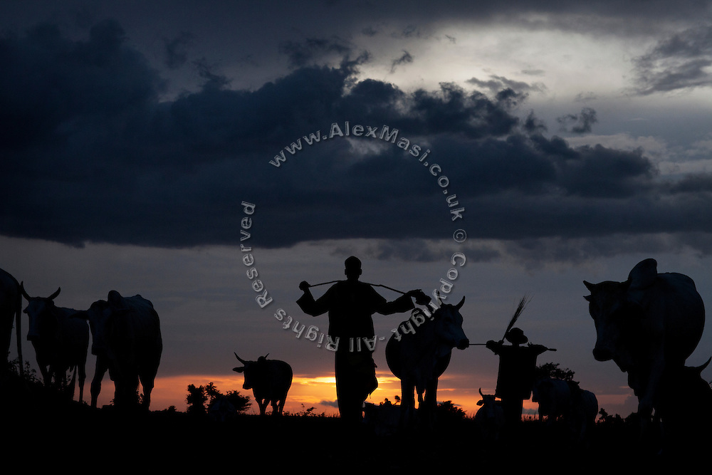 At sunset, a farmer is leading his heard and passing near an artisanal processing site in Abare, a village affected by lead poisoning due to the unsafe techniques employed for extracting gold, in Zamfara State, Nigeria. The lead contamination is caused by ingestion and breathing of particles released in the steps to isolate the gold from other metals. This type of lead is soluble in stomach acid and children under-5 are most affected, as they tend to ingest more through their hands by touching the ground, and are developing symptoms often leading to death or serious disabilities.