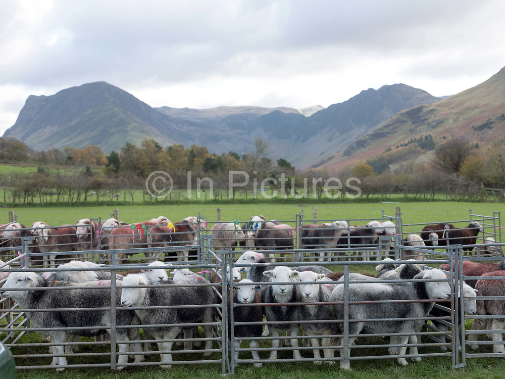 Herdwick sheep at Buttermere Shepherds Meet in Cumbria on 28 October 2018. Herdwick sheep are the native breed of the central and western Lake District and live on the highest of England's mountains. They are extremely hardy and are managed in the traditional way on the Lake District fells that have been their home for generations
