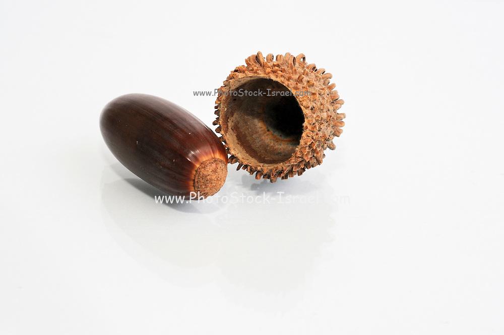 Oak acorn on white background