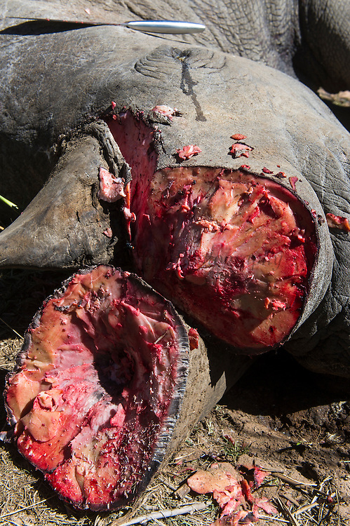 White rhinoceros (Ceratotherium simum) dead from fighting and horn removed for safe-keeping<br /> , <br /> SOUTH AFRICA<br /> RANGE: Southern & East Africa<br /> ENDANGERED SPECIES