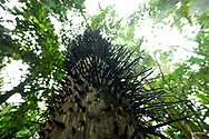 The spiked trunk of a Pejibaye Palm tree, in Manuel Antonio National Park, Costa Rica.