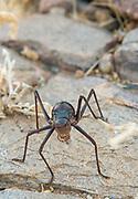 The Namib Desert beetle (genus Stenocara), Brandberg Mountain, Damaraland, Namibia