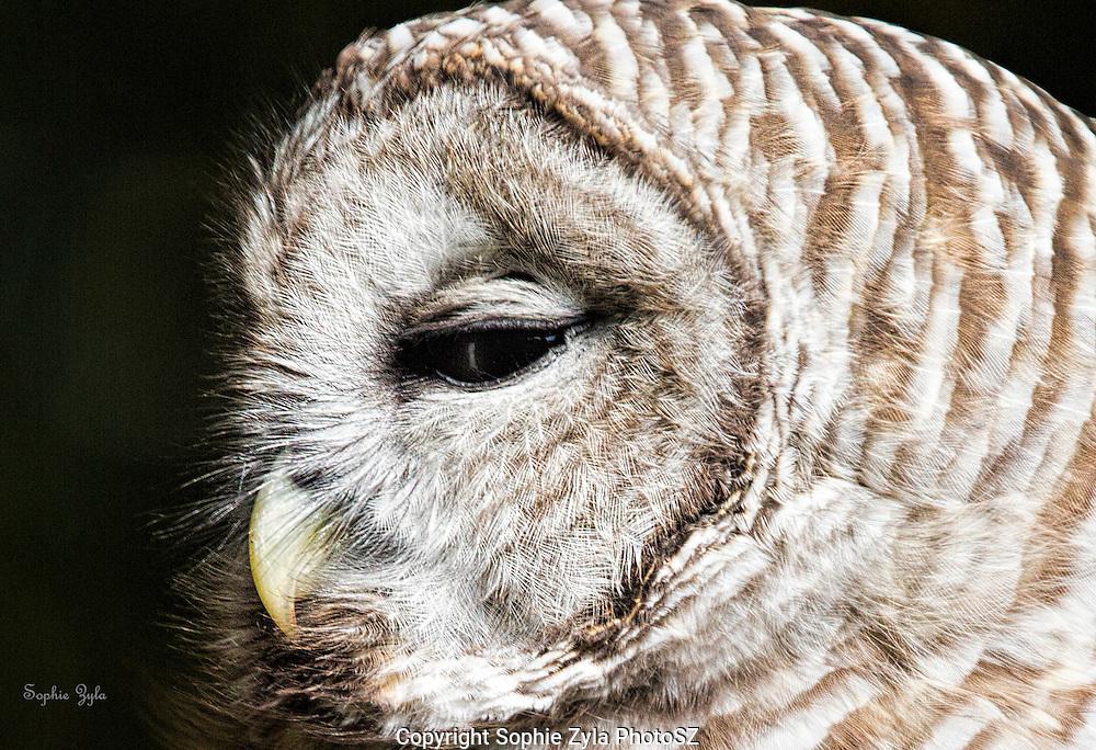 Zen Moments of a Barred Owl at APCH