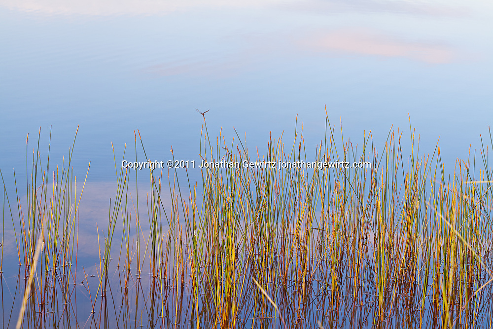 A dragonfly rests on reeds on the surface of Pine Glades Lake in Everglades National Park, Florida. WATERMARKS WILL NOT APPEAR ON PRINTS OR LICENSED IMAGES.