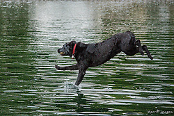 United States, Washington, Kirkland, black labrador retriever dog jumping off dock