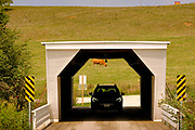 """14 SEPTEMBER 2020 - WINTERSET, IOWA: A tourist drives through the Cedar Bridge. The Cedar Bridge is the only covered bridge open to vehicles. The Cedar Bridge in Madison County was built in 1883. It has been destroyed twice by fire, most recently in 2017, and rebuilt each time. The covered bridges of Madison County are an enduring tourist attraction more than 25 years after the book and movie """"The Bridges of Madison County"""" made them famous. There are six covered bridges in Madison County, all built in the 1800s. They are remnants of about 100 covered bridges built in Iowa from the 1850s through the late 1800s. Most of the briges were washed away in floods, condemned, or destroyed in fires. The Madison County bridges have been restored and rebuilt through the years.    PHOTO BY JACK KURTZ"""