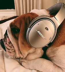 """Lewis Hamilton releases a photo on Instagram with the following caption: """"Coco's listening to her playlist \ud83d\ude02\ud83d\ude02\ud83d\ude02@bose #QC35 #Bose #Ambassador"""". Photo Credit: Instagram *** No USA Distribution *** For Editorial Use Only *** Not to be Published in Books or Photo Books ***  Please note: Fees charged by the agency are for the agency's services only, and do not, nor are they intended to, convey to the user any ownership of Copyright or License in the material. The agency does not claim any ownership including but not limited to Copyright or License in the attached material. By publishing this material you expressly agree to indemnify and to hold the agency and its directors, shareholders and employees harmless from any loss, claims, damages, demands, expenses (including legal fees), or any causes of action or allegation against the agency arising out of or connected in any way with publication of the material."""