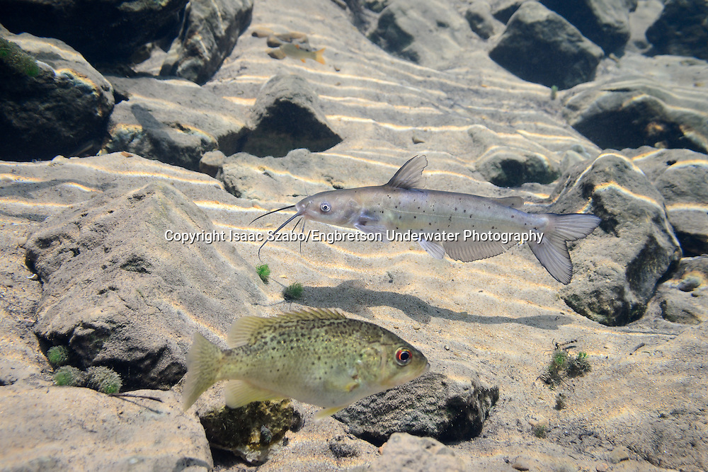 Channel Catfish (juvenile)(with Ozark Bass)<br /> <br /> Isaac Szabo/Engbretson Underwater Photography
