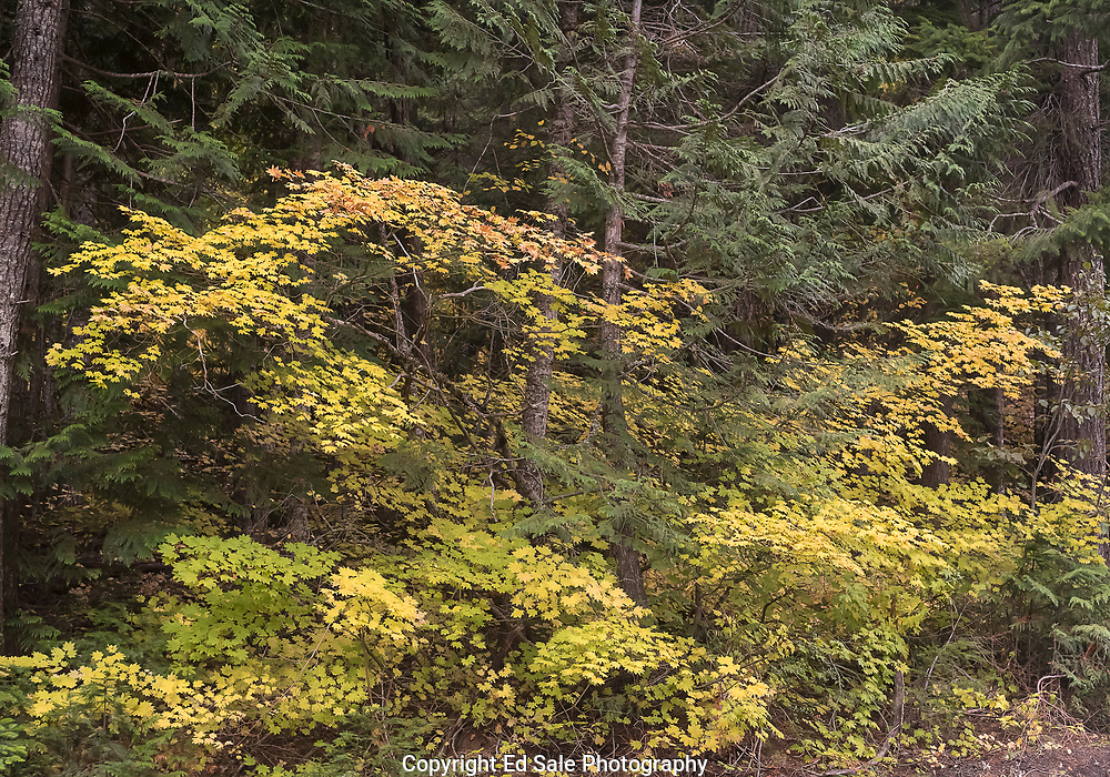 Vine maple in the Mt Hood National forest stands out with vivid yellow color against the green of the deep forest