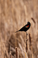 This is the first Blackbird I've seen in the Calgary area this season!..©2009, Sean Phillips.http://www.Sean-Phillips.com