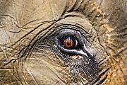 The eye of an Asian forest elephant (Elephas maximus sumatranus) in  Leuser National Park, Sumatra, Indonesia
