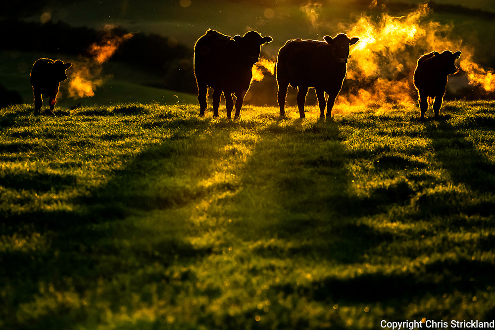 Ferniehirst, Jedburgh, Scottish Borders, UK. 6th September 2018. Cattle backlit by the setting sun as the early autumn evenings draw in.