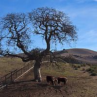 USA, California, Carmel Valley. Cattle and  Oak Tree.