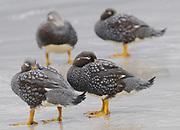 Falkland Steamer Ducks or Loggers (Tachyeres brachypterus) on the beach at  Carcass Island. . Carcass Island, Falkland Islands.