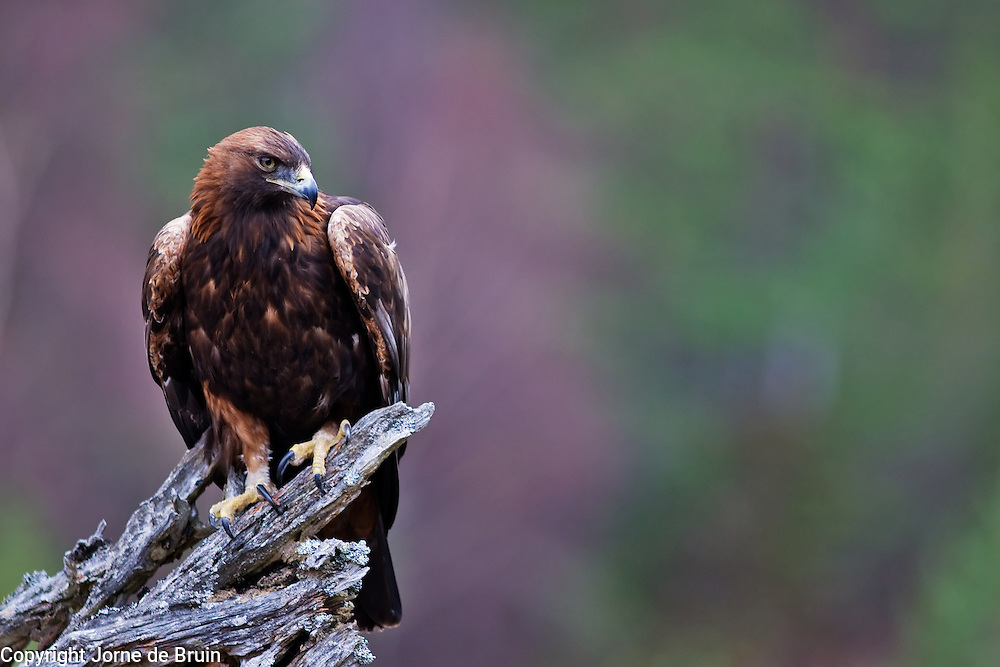 A Golden Eagle is sitting on a dead tree in the Cairngorms National Park in the Scottish Highlands