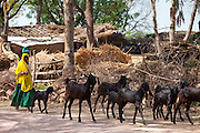 Indian woman with herd of goats at farm smallholding at Kutalpura Village in Rajasthan, Northern India