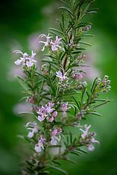 Rosmarinus officinalis 'Roseus' - Rosemary